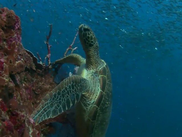 Potápění s želvami je úžasný zážitek Zdroj: youtube.com