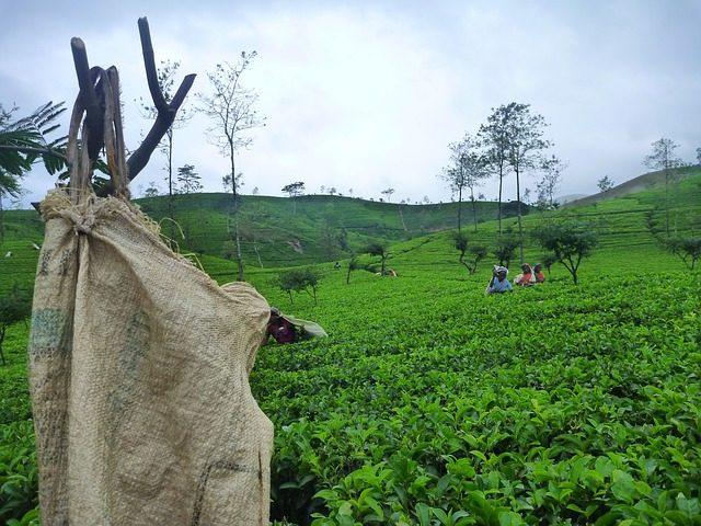 Exotická dovolená čajová plantáž na Srílance