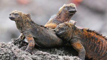 Galapágy, leguáni