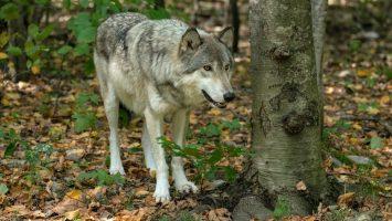 kde potkat vlky
