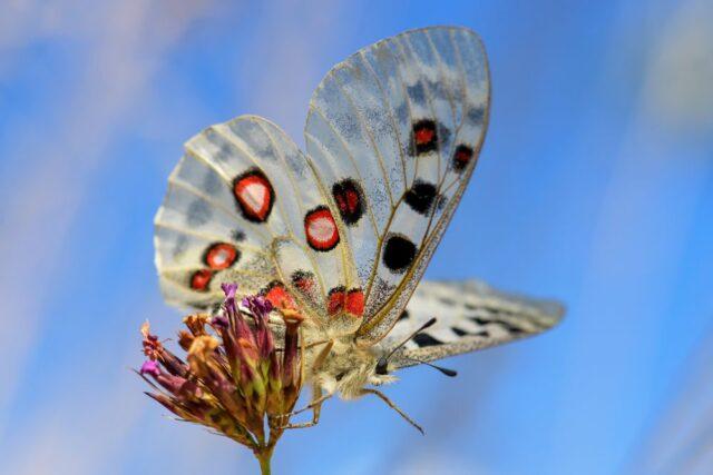 Štramberk motýl
